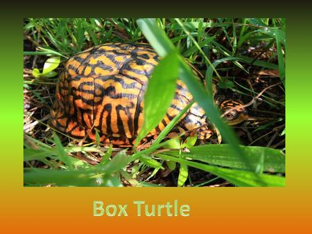 Box turtles are reptiles. Reptiles are cold blooded and their body temperature changes with the weather.