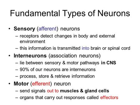 Fundamental Types of Neurons Sensory (afferent) neurons –receptors detect changes in body and external environment –this information is transmitted into.