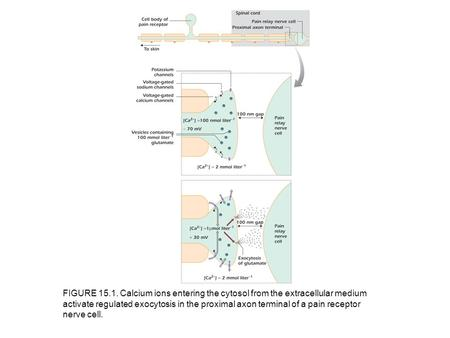 FIGURE 15.1. Calcium ions entering the cytosol from the extracellular medium activate regulated exocytosis in the proximal axon terminal of a pain receptor.