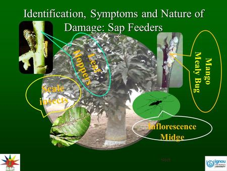 Identification, Symptoms and Nature of Damage: Sap Feeders