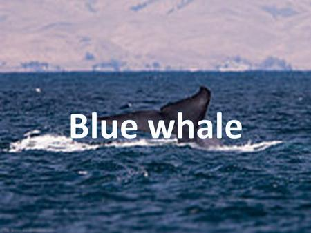 The great blue Whale is the largest animal to ever to live on the planet only resembling the dinosaur, Argentinosaurus The largest Blue whale to ever.