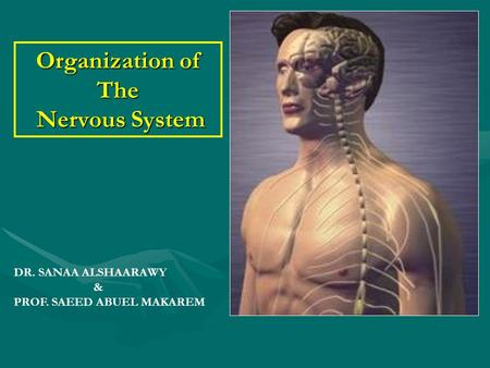 Organization of The Nervous System DR. SANAA ALSHAARAWY & PROF. SAEED ABUEL MAKAREM.
