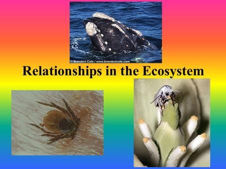 Relationships in the Ecosystem. Predators and Prey Predator – consumer that actively hunts other living organisms. Prey – consumed by predators. Predator.