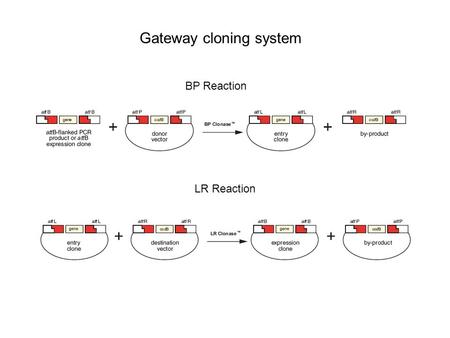 BP Reaction LR Reaction Gateway cloning system.