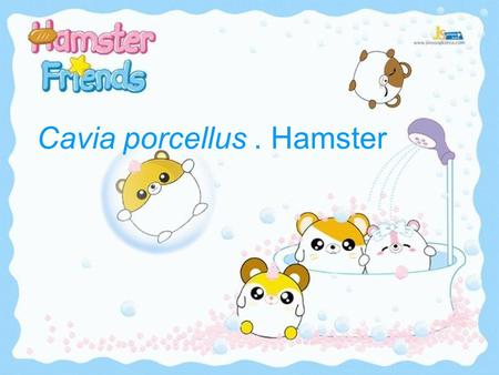 Cavia porcellus. Hamster. The guinea pig (Cavia porcellus), also commonly called the Cavy, is a species of rodent belonging to the family Caviidae and.