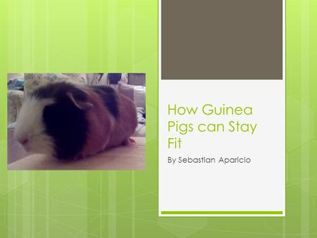 How Guinea Pigs can Stay Fit By Sebastian Aparicio.
