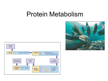 Protein Metabolism. Protein Digestion Protein breakdown begins in the stomach. No protein hydrolyzing enzymes are found in saliva. Hydrolysis (10% of.