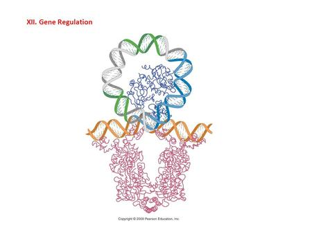 XII. Gene Regulation. - Overview: All cells in an organism contain the same genetic information; the key to tissue specialization is gene regulation –