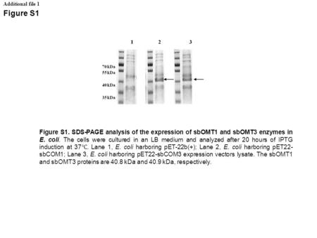 Additional file 1 Figure S1 Figure S1. SDS-PAGE analysis of the expression of sbOMT1 and sbOMT3 enzymes in E. coli. The cells were cultured in an LB medium.