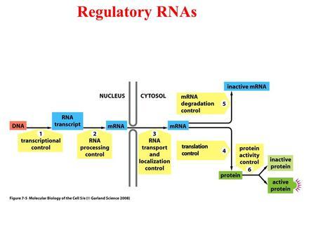 Regulatory RNAs. Cells produce several types of RNA.