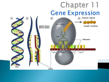 "I. Role of Gene Expression  Gene expression is the activation (""turning on"") of a gene ◦ Separation of fingers and toes Genome: complete genetic material."