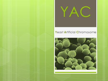 YAC Y east A rtificial C hromosome. Yeast artificial chromosome (YAC) Is a vector used to clone DNA fragments larger than 100 kb and up to 3000 kb. YACs.