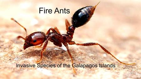 Fire Ants Invasive Species of the Galapagos Islands.