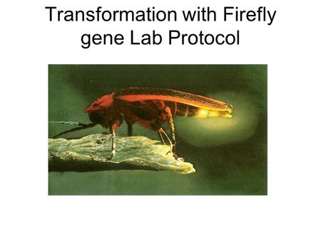 Transformation with Firefly gene Lab Protocol. Procedure The Plasmid pBestluc and the CaCl must be kept on ice throughout the entire experiment.