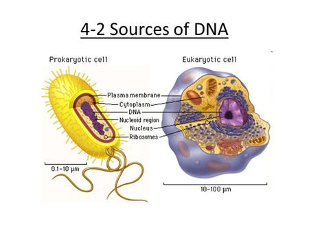 4-2 Sources of DNA. Background Nature = DNA in cells Lab= Manipulate and grow cultures of different cells to access DNA – Grow in medium – Collect and.