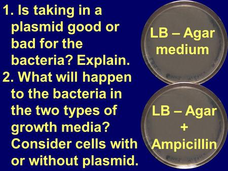 LB – Agar medium 1. Is taking in a plasmid good or bad for the bacteria? Explain. 2. What will happen to the bacteria in the two types of growth media?
