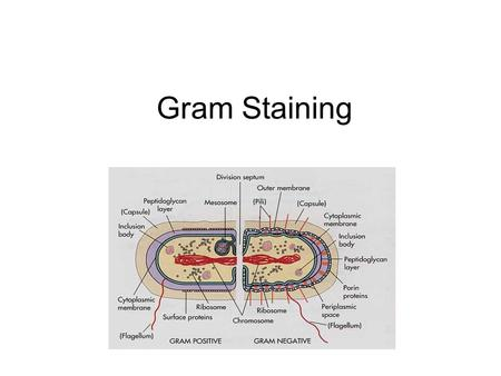 Gram Staining. There are two types of cell walls in Eubacteria: – Gram-positive bacteria have a thick peptide layer, retain the crystal violet, and appear.