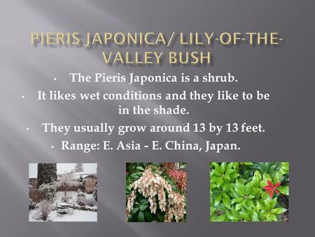 The Pieris Japonica is a shrub. It likes wet conditions and they like to be in the shade. They usually grow around 13 by 13 feet. Range: E. Asia - E. China,