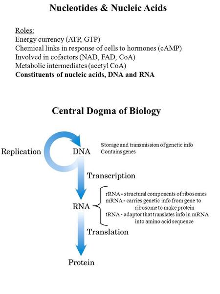 Nucleotides & Nucleic Acids Roles: Energy currency (ATP, GTP) Chemical links in response of cells to hormones (cAMP) Involved in cofactors (NAD, FAD, CoA)