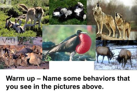 Animal Behavior Behavior – the way an organism acts toward its environment Warm up – Name some behaviors that you see in the pictures above.