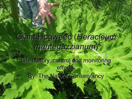 Giant Hogweed (Heracleum mantegazzianum) Life history, control and monitoring efforts. By: The Nature Conservancy.