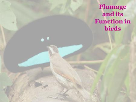 Plumage and its Function in birds. Basic distinction between: Molt = feather replacement and Plumage = Feather coat Basic (prebasic molt) - renewed plumage.