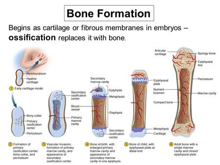 Bone Formation Begins as cartilage or fibrous membranes in embryos – ossification replaces it with bone.