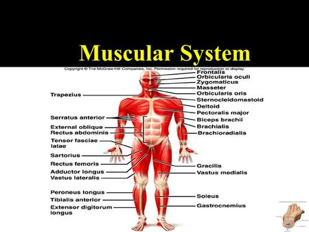 muscular system essay Read this full essay on the muscular system the muscular system is the set of  all the muscles that make up the human body it is an extensive system of mus.