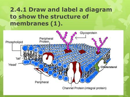 2.4.1 Draw and label a diagram to show the structure of membranes (1).