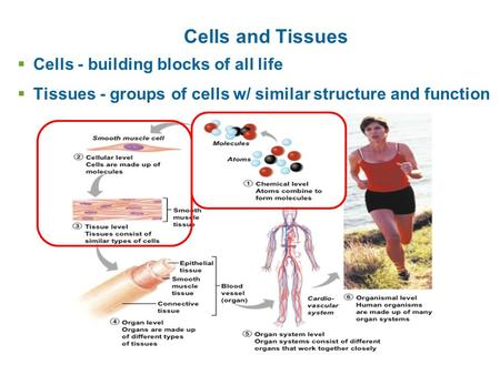 Cells and Tissues  Cells - building blocks of all life  Tissues - groups of cells w/ similar structure and function.