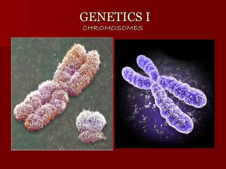 GENETICS I CHROMOSOMES GENETICS I CHROMOSOMES. A. CHROMOSOMES Chromosomes are found in the nucleus of the cell Chromosomes are found in the nucleus of.