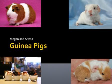 Megan and Alyssa.  Guinea Pigs were first domesticated in 5000BC  The Moche people of Peru worshipped them  They continued to be a food source in the.
