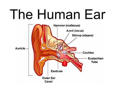 The Human Ear. Main Parts of the Ear Outer Ear Middle Ear Inner Ear.