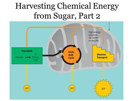 Sept. 20, 2013 Harvesting Chemical Energy from Sugar, Part 2.