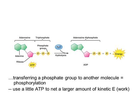 …transferring a phosphate group to another molecule = phosphorylation -- use a little ATP to net a larger amount of kinetic E (work)
