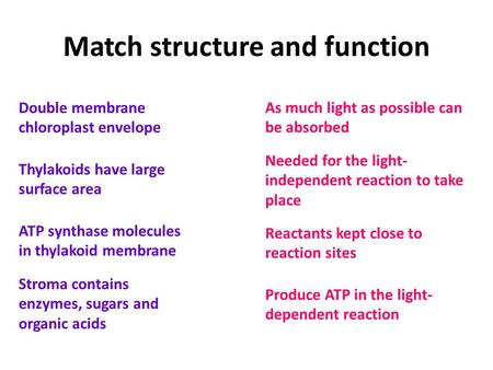 Match structure and function Double membrane chloroplast envelope Thylakoids have large surface area ATP synthase molecules in thylakoid membrane Stroma.