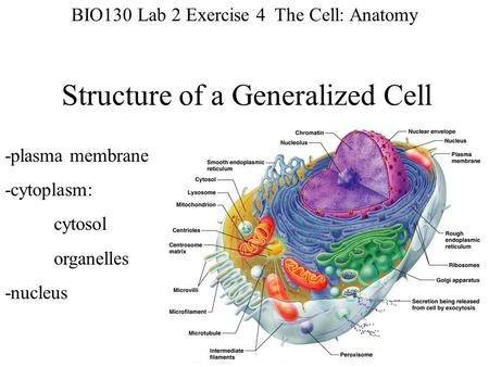 Structure of a Generalized Cell -plasma membrane -cytoplasm: cytosol organelles -nucleus BIO130 Lab 2 Exercise 4 The Cell: Anatomy.