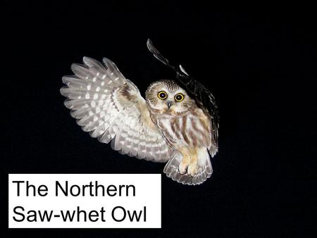 The Northern Saw-whet Owl