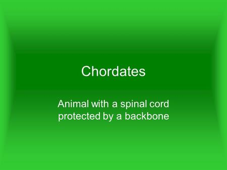 Chordates Animal with a spinal cord protected by a backbone.