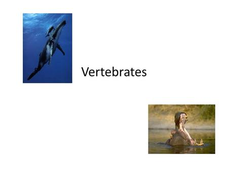 Vertebrates Fishes  All fishes are ectotherms.  Ectotherms- animals with body temperatures dependent upon the temperature of their surroundings. 