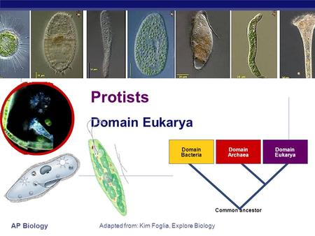 AP Biology Adapted from: Kim Foglia, Explore Biology Domain Bacteria Domain Archaea Domain Eukarya Common ancestor Protists Domain Eukarya.