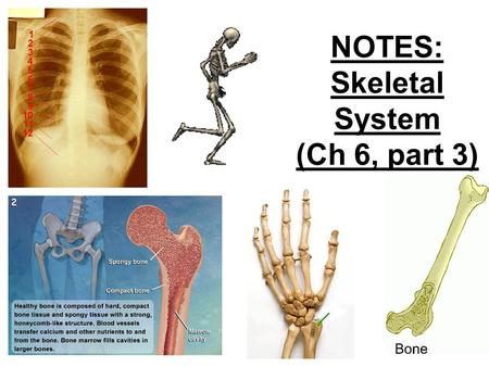 NOTES: Skeletal System (Ch 6, part 3). BONE FUNCTION:  Support and Protection bones shape and form body structures bones support and protect softer,