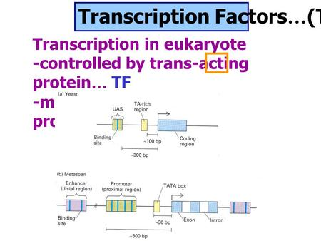 Transcription Factors … (TF) Transcription in eukaryote -controlled by trans-acting protein … TF -more complex than in prokaryotes.