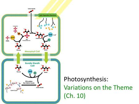 Photosynthesis: Variations on the Theme (Ch. 10).
