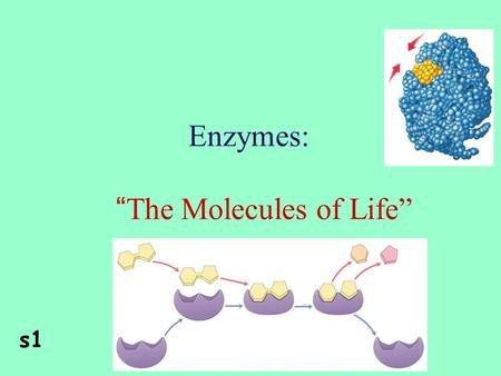 "Enzymes: "" The Molecules of Life"" s1 2Enzymes Are proteins catalyzeAre specific for what they will catalyze ReusableAre Reusable aseEnd in –ase."