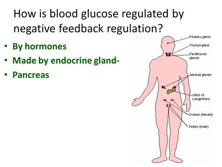 How is blood glucose regulated by negative feedback regulation? By hormones Made by endocrine gland- Pancreas.