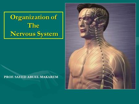 Organization of The Nervous System PROF. SAEED ABUEL MAKAREM.