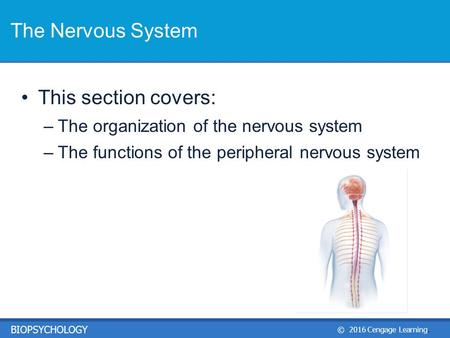 © 2016 Cengage Learning. BIOPSYCHOLOGY This section covers: –The organization of the nervous system –The functions of the peripheral nervous system The.