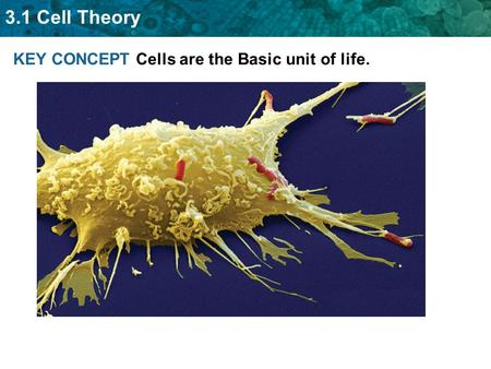 3.1 Cell Theory KEY CONCEPT Cells are the Basic unit of life.