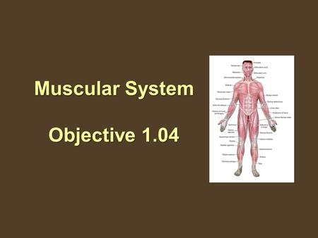 Muscular System Objective 1.04. 1.04 Remember the structures of the muscular system The Muscular System Comprises nearly half our weight. Over 650 muscles.